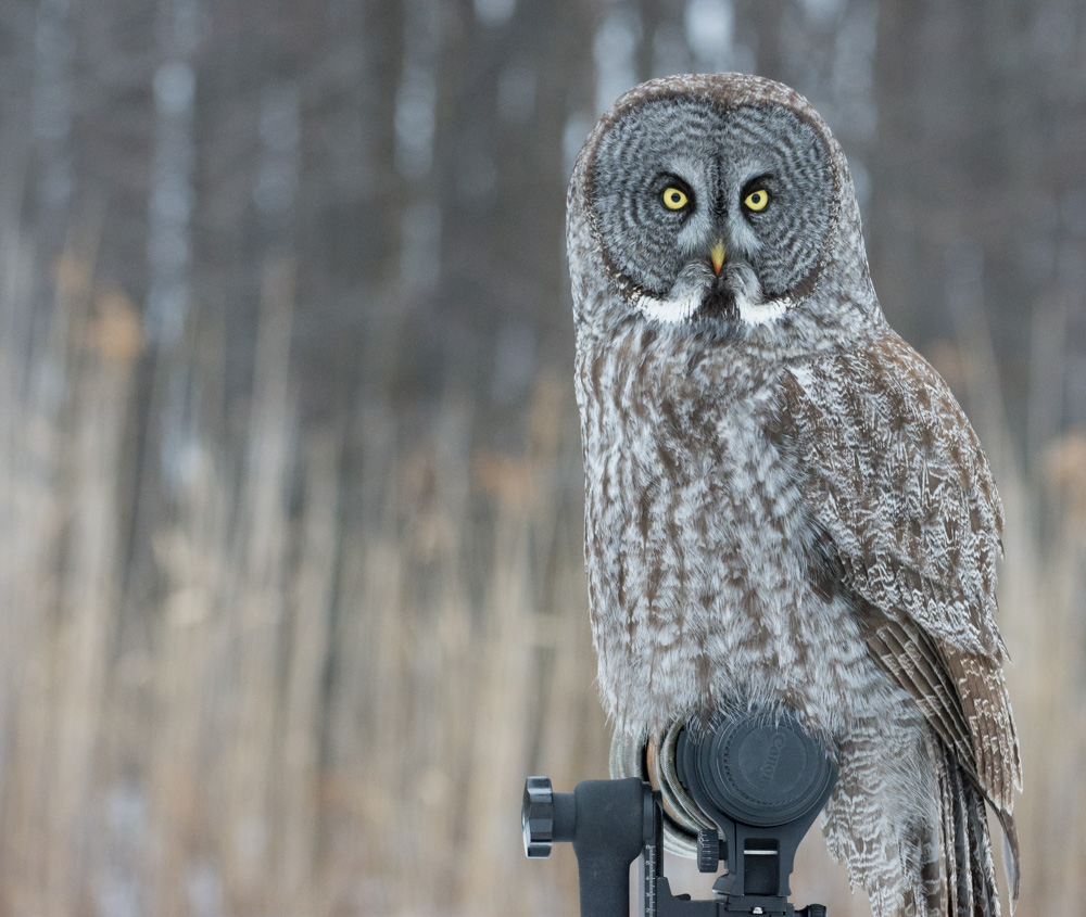A Great Gray Owl perched on a photographer's lens in Canada.      P  hoto: The Afternoon Birder