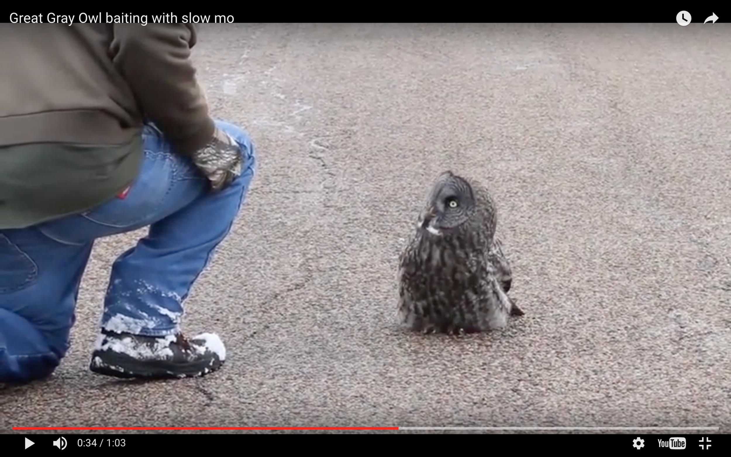 Stills from the video of a taunted owl.