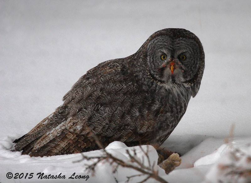Great Gray Owl    Montana
