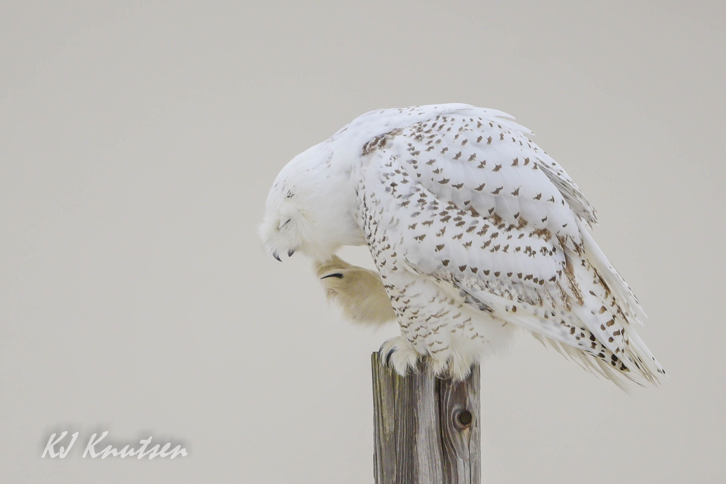This Snowy Owl is oblivious to photographer Kevin Knutsen's presence nearby in his car blind. One can observe unique behaviors at a respectful distance, if the owl obliges.