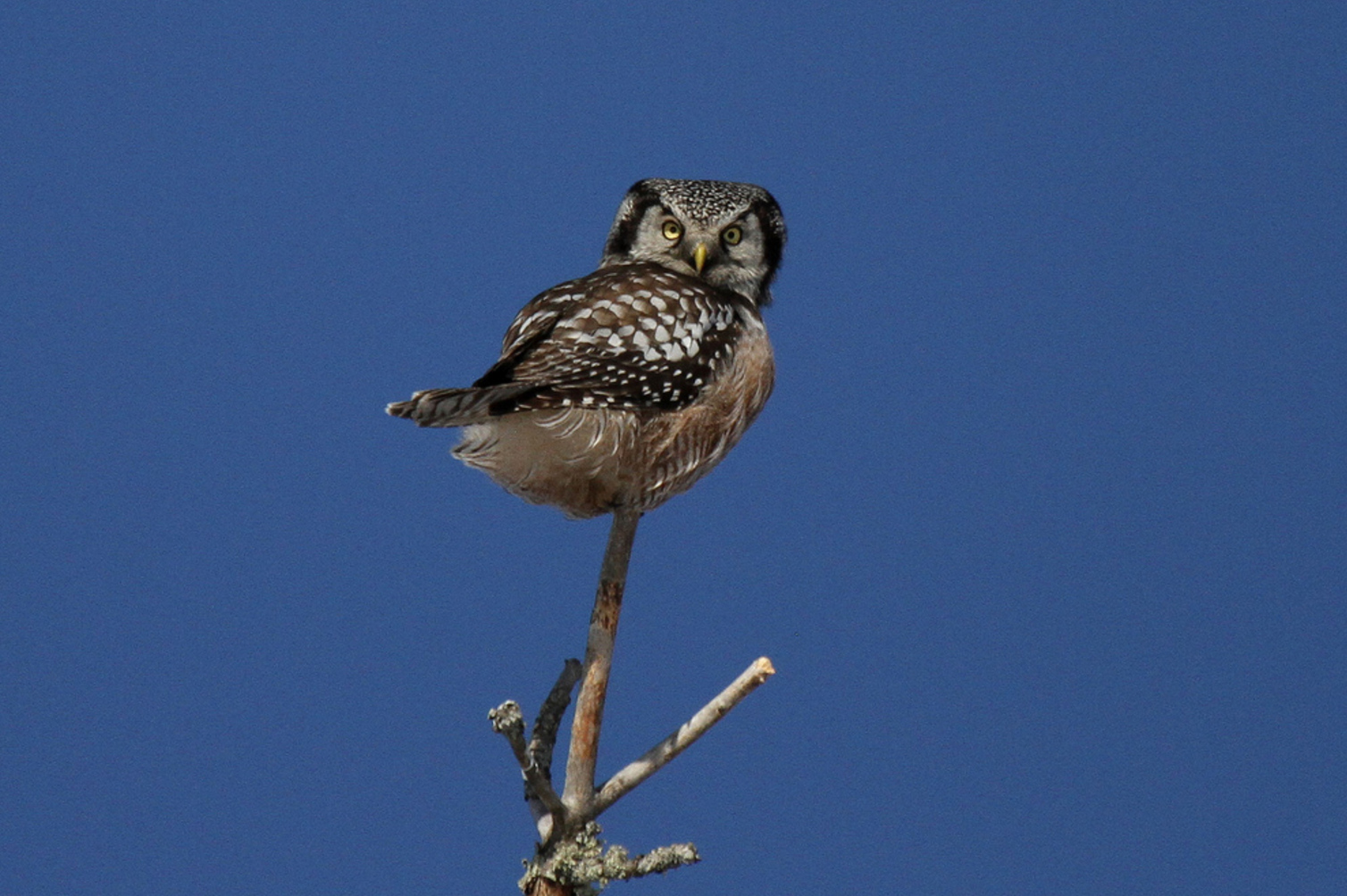 Northern Hawk-Owl    Photo: Laura Keene