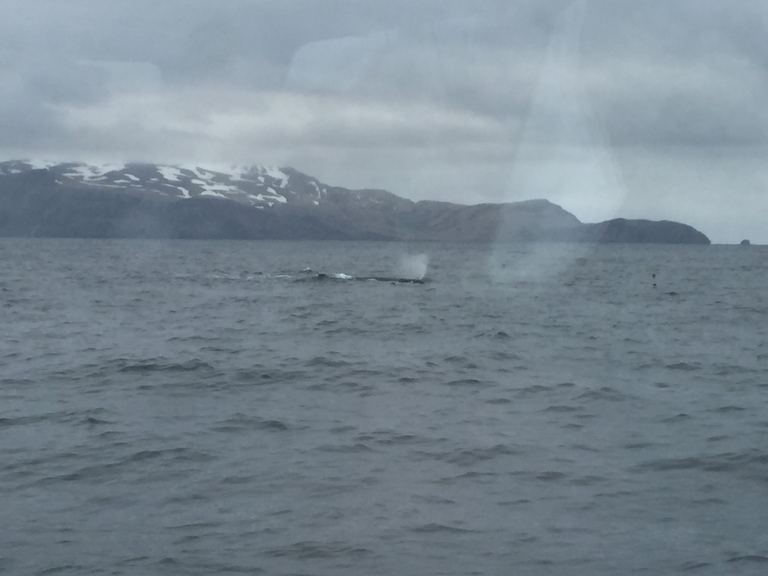 A sperm whale surfaces less than 100m from the boat as we passed some islands
