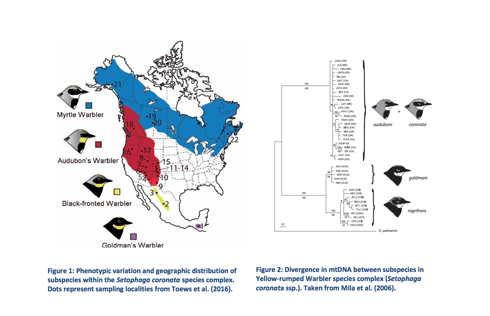 Here's a figure from the proposal to split Yellow-rumped Warblers- cool stuff!