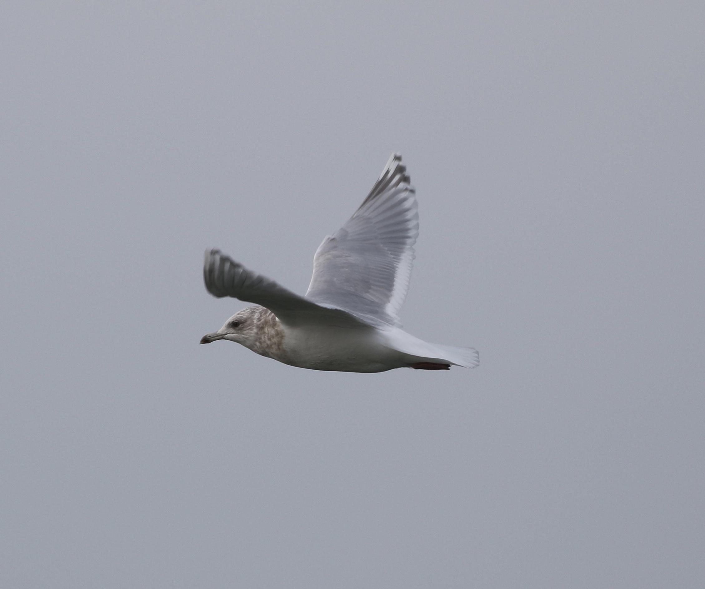 """A """"Kumlein's""""Gull, Race Point, Massachusetts, December 2016"""