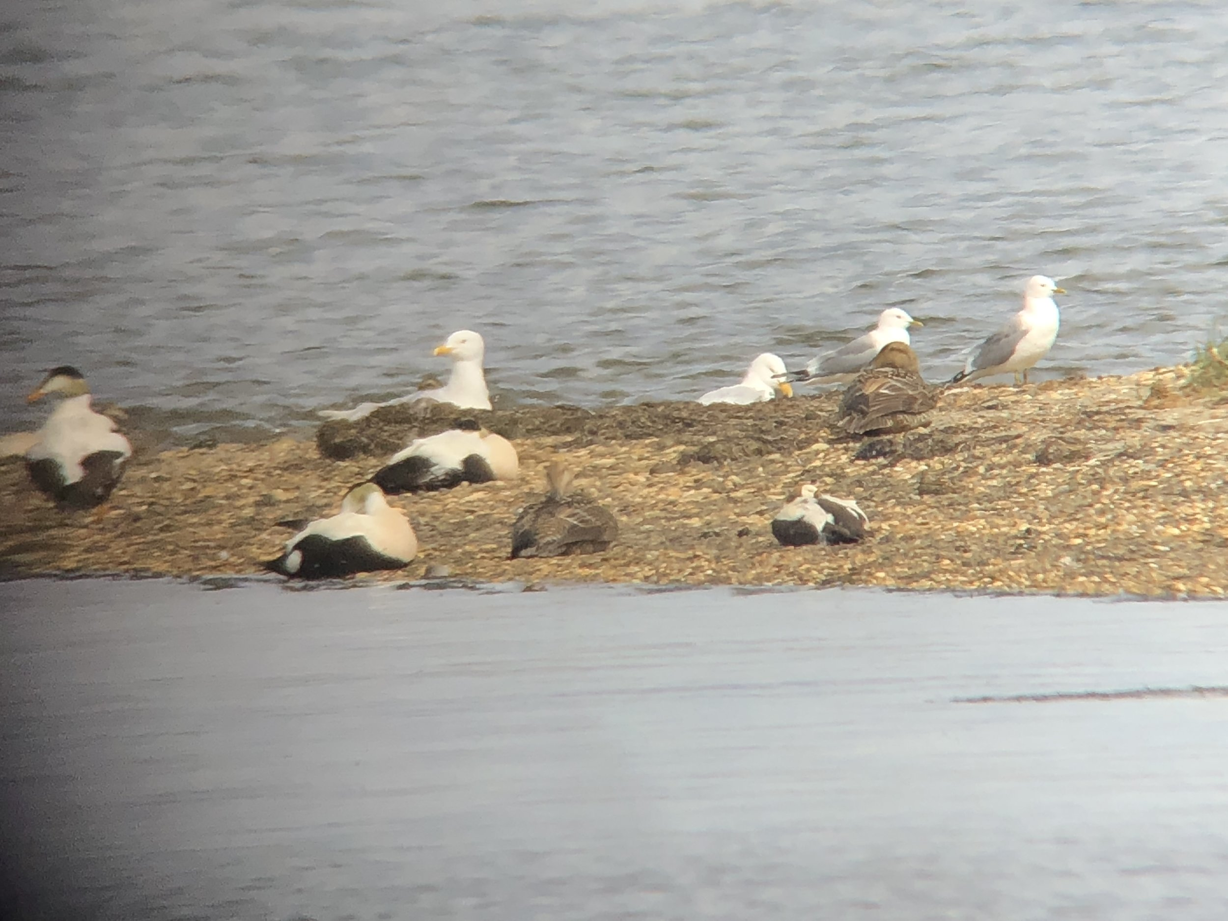 A Digiscoped image from quite the distance. The Spectacled Eider male is the bottom right bird.