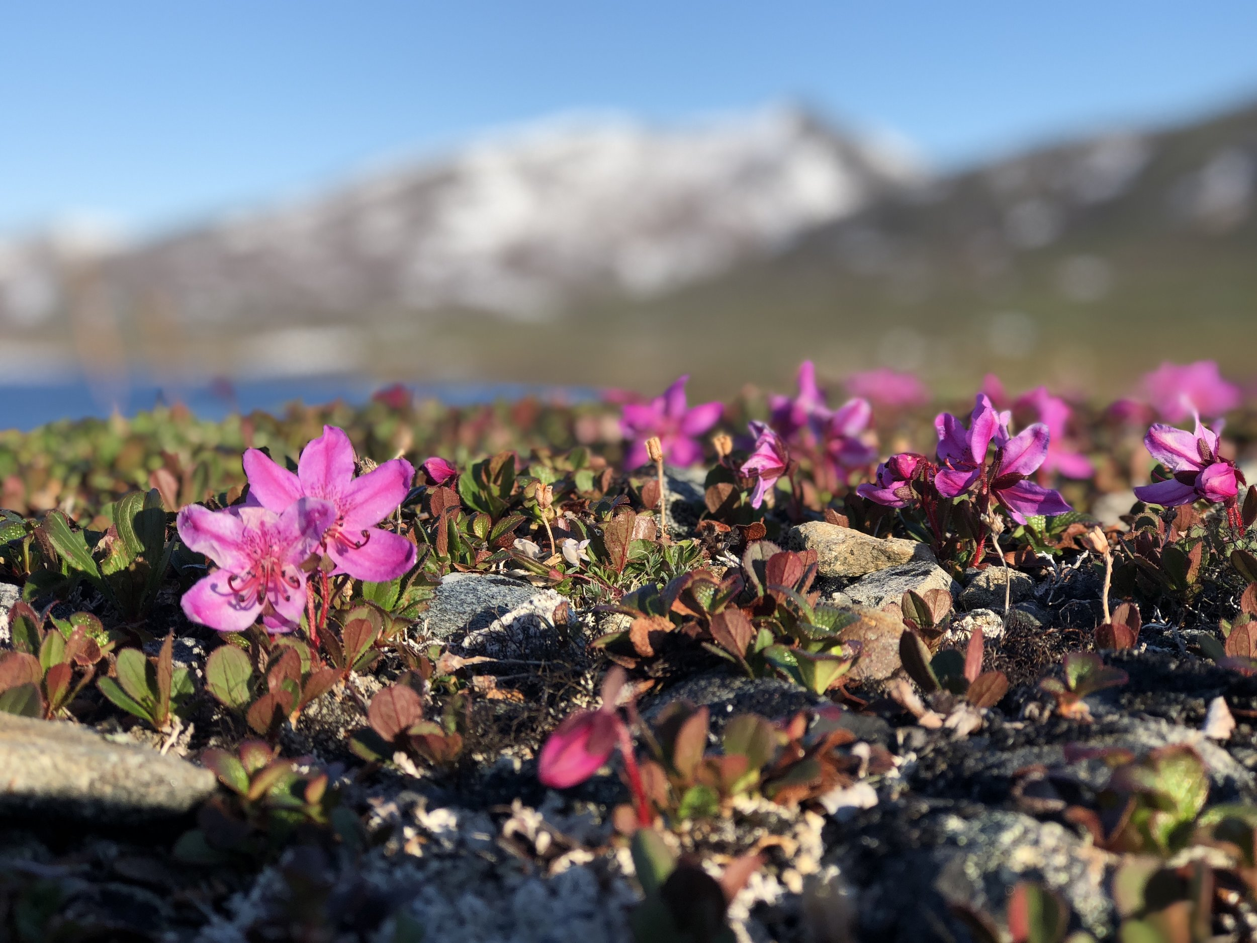 Kamchatka Rhododendron is a dwarf tundra flower carpeting the valley hillsides