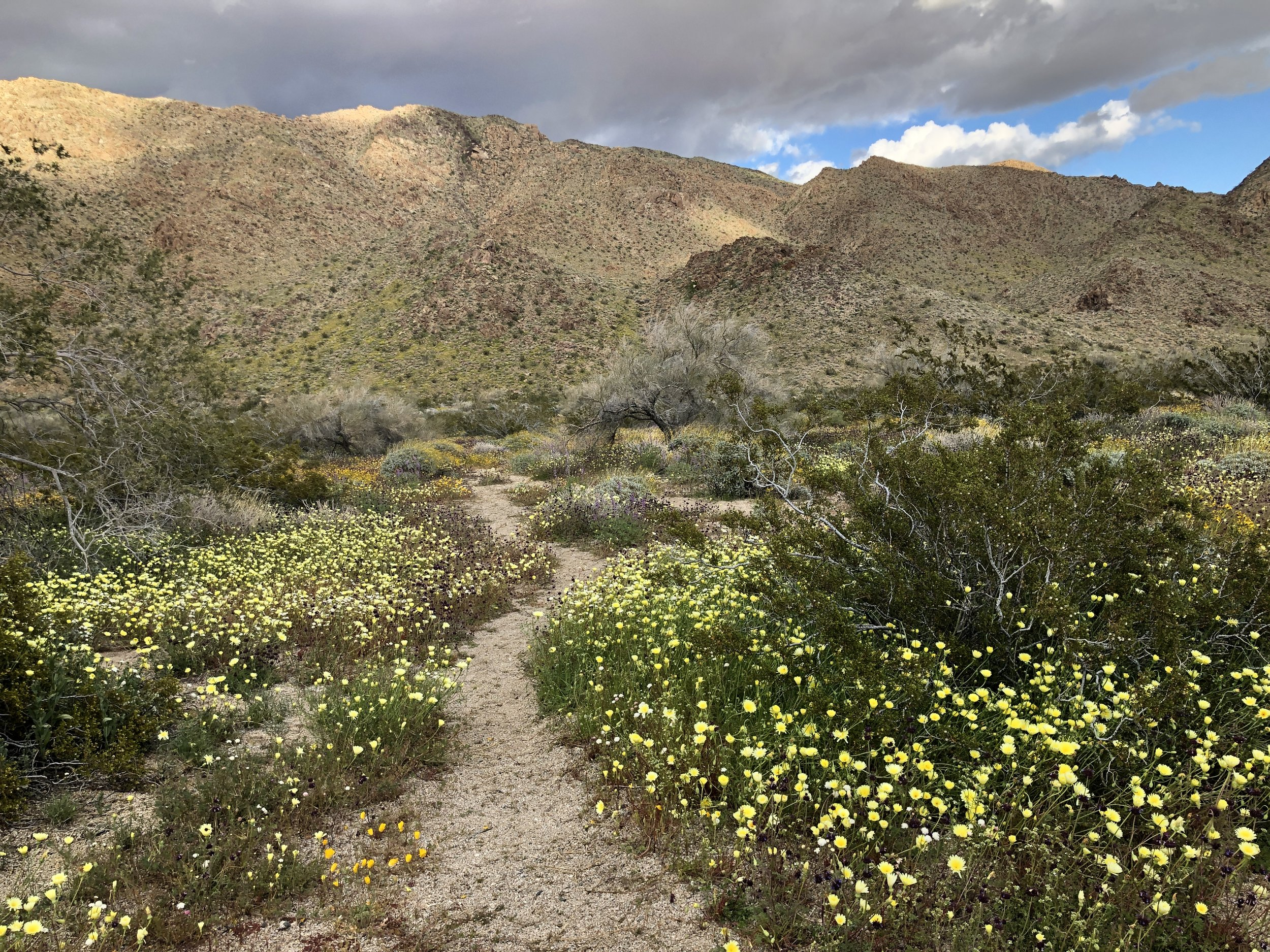 """Super Bloom"" of wildflowers in Joshua Tree National Park. Record rainfall has transformed many parts of the desert into a vast green landscape!"