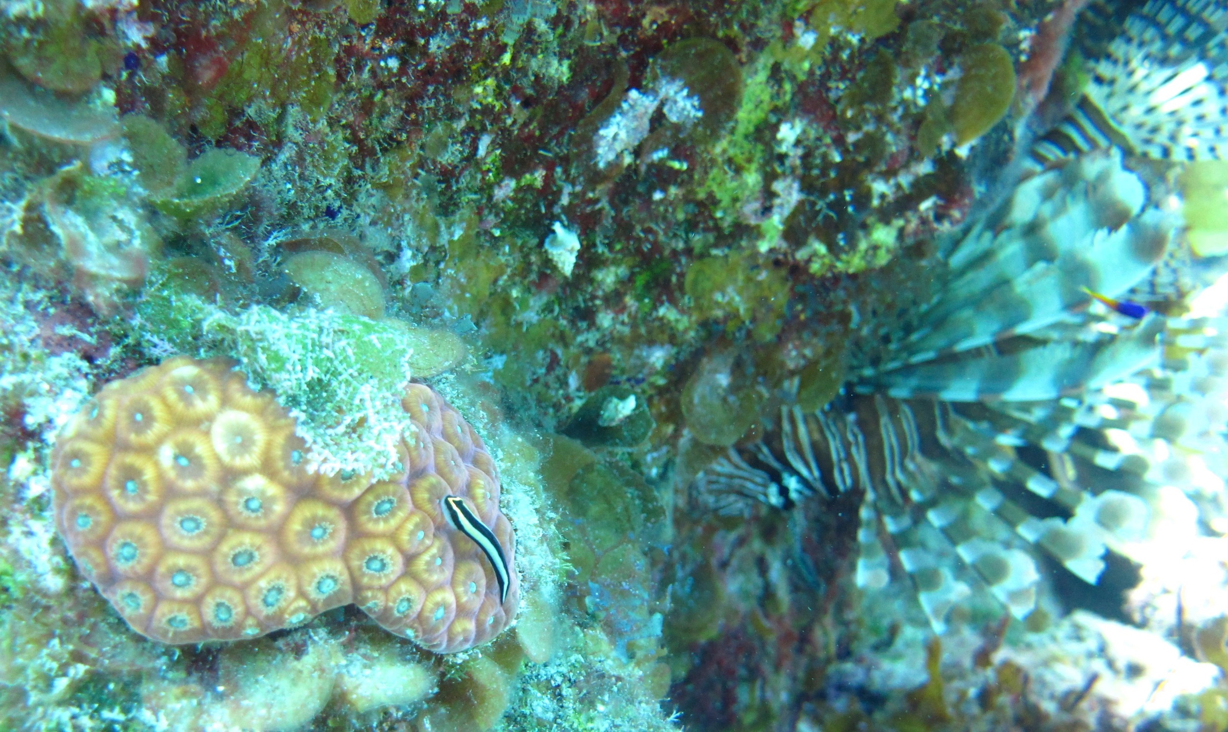 En garde! A watchful lionfish camps out next to an  Elacatinus genie  cleaning station on a Bahamian coral reef.