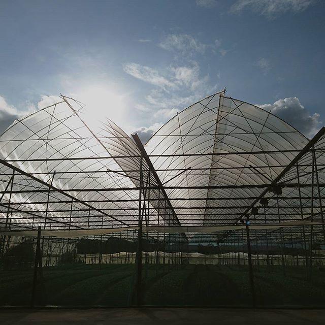 Our beautiful farm  #sgfarms #farming #singapore #vscocam #sgyoungfarmers