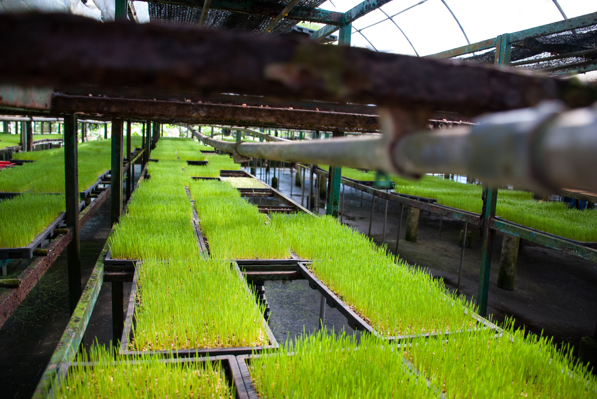 The wheatgrass is watered regularly with an automated sprinkler system