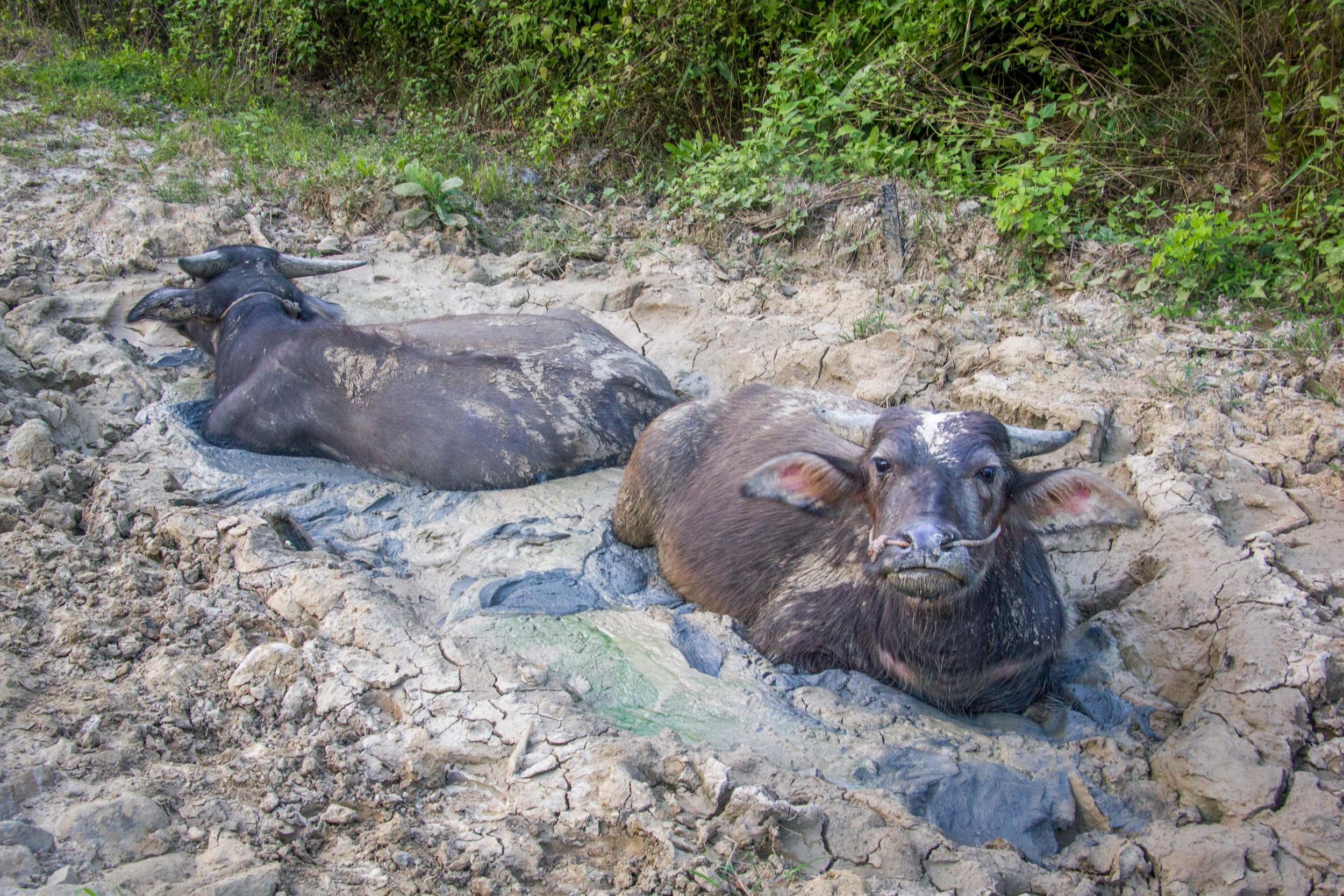 Some buffalo loving life