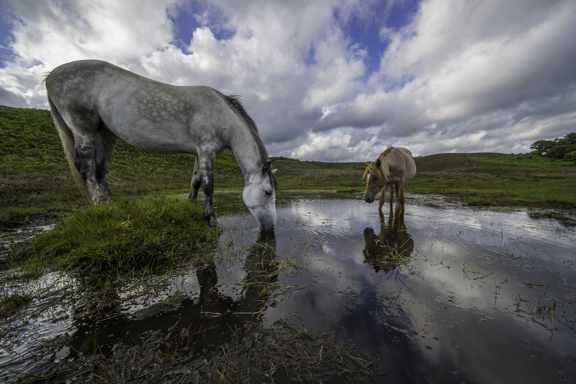 New forest ponies2.jpg