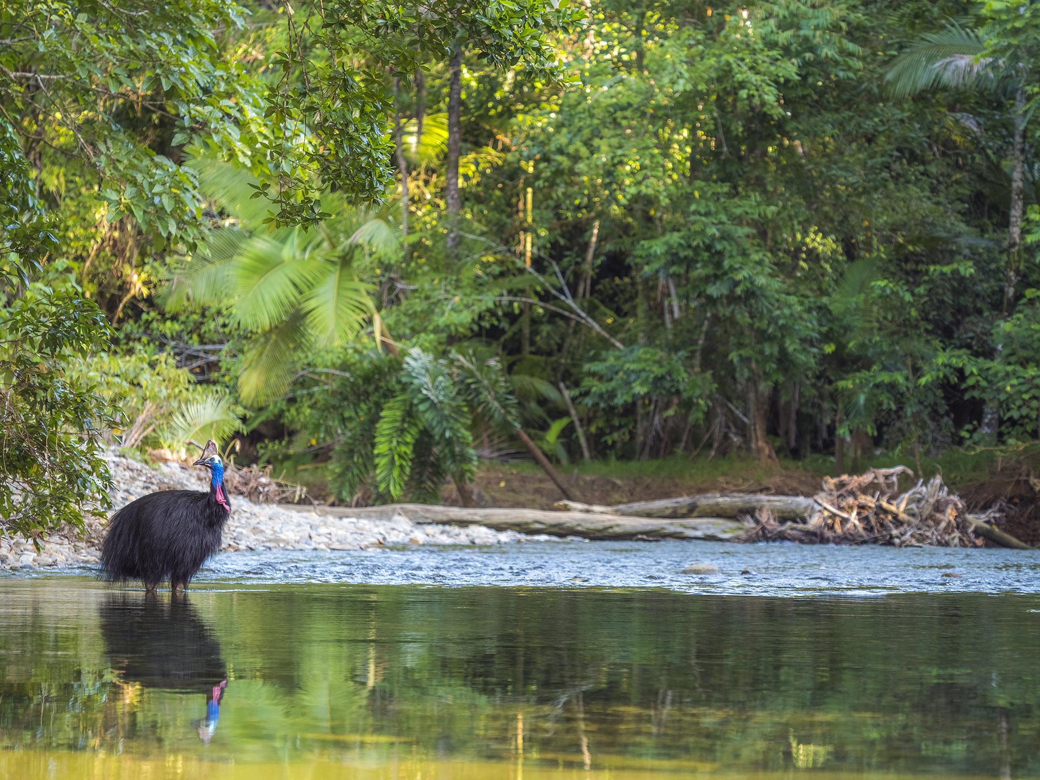 Cassowary - Australia