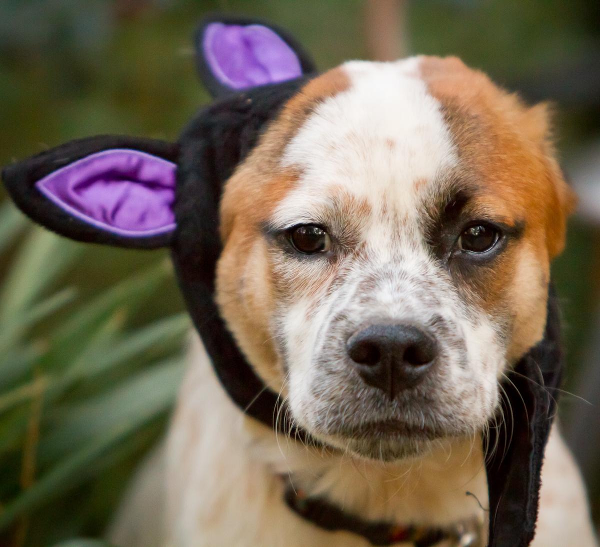 Dog in Halloween Costume | Atlanta Wedding Photojournalist