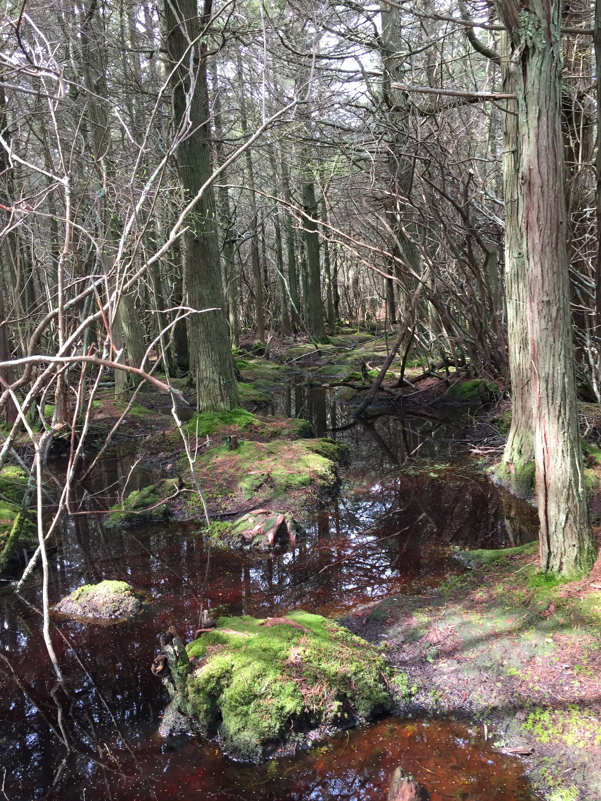 Provincetown's Atlantic White Cedar Swamp