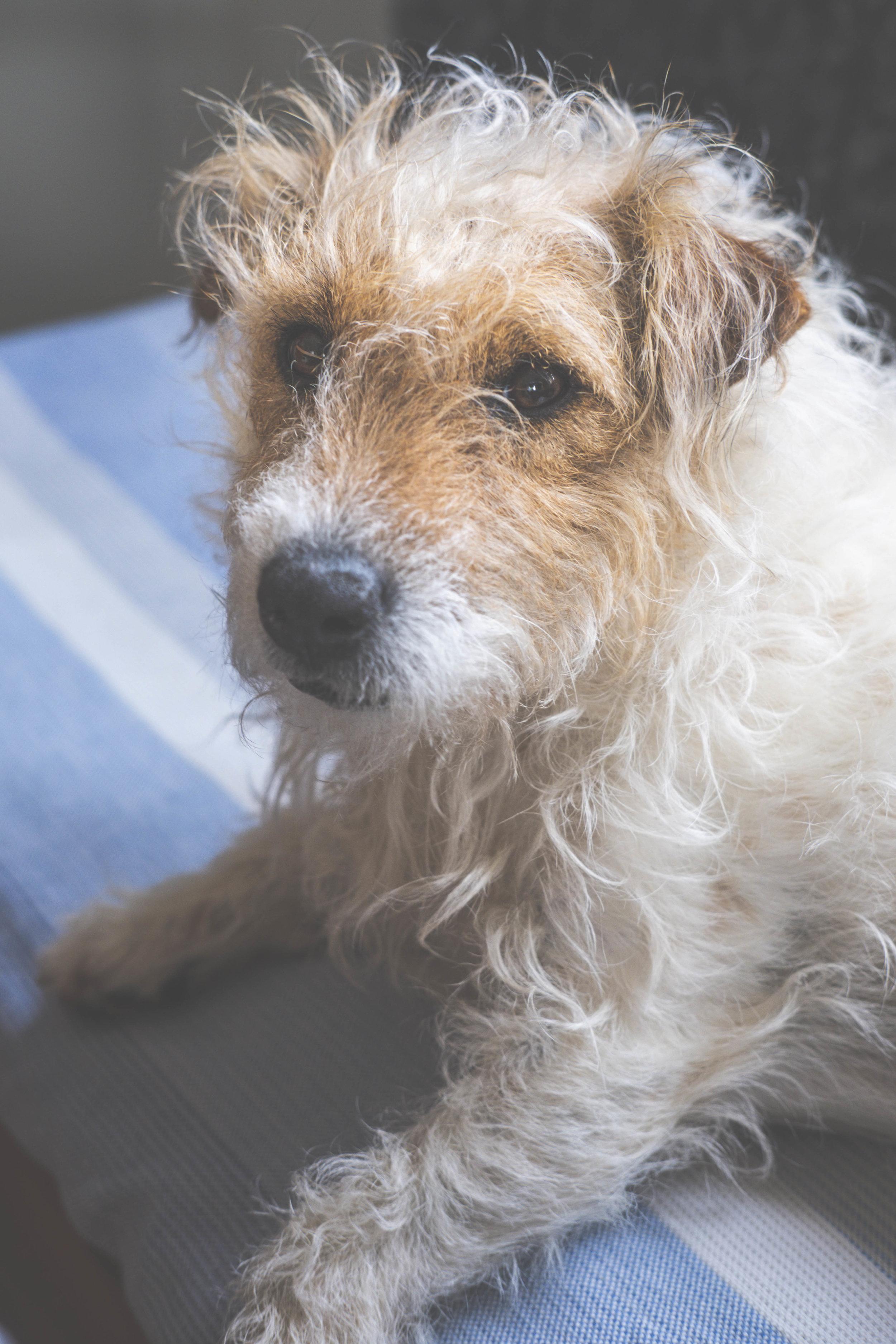 Hunden Chimmie på kökssoffan. FOTO: Mattias Färnstrand, Kuxagruppen AB