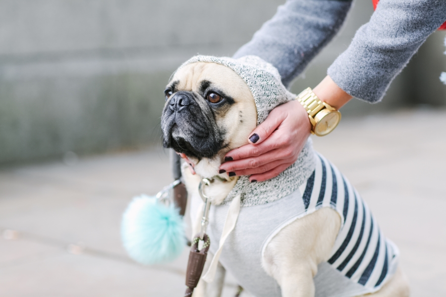 honeyidressedthepug-westminster-thames-london-pug-swag-dog-pet-fashion-streetstyle-hoody-pompom-stripes-diesel-goldwatch-lamberthpier-puglife-trendy-chic