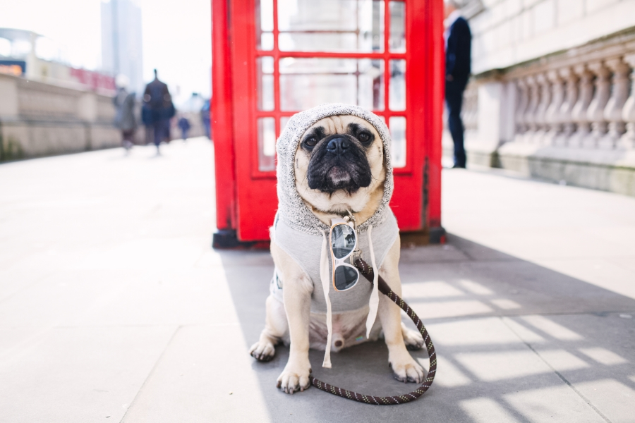 honeyidressedthepug-westminster-thames-london-pug-swag-dog-pet-fashion-streetstyle-hoody-pompom-stripes-diesel-goldwatch-lamberthpier-puglife-trendy-chic-sunglasses-red-telephonebooth