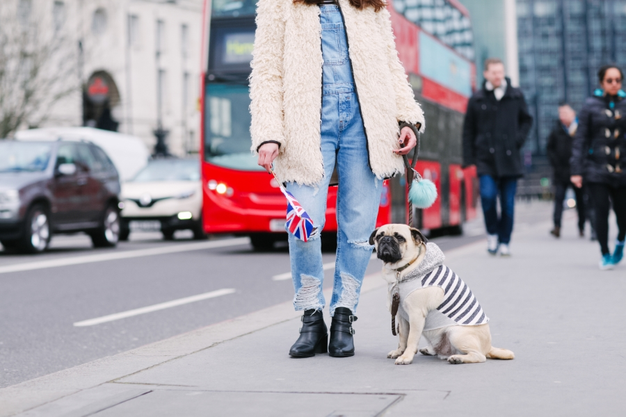 honeyidressedthepug-westminster-thames-london-pug-swag-dog-pet-fashion-streetstyle-hoody-pompom-stripes-diesel-goldwatch-lamberthpier-puglife-trendy-chic-redbus-unionjack
