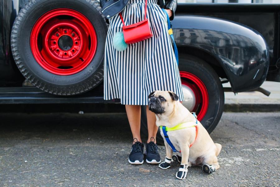 honeyifdressedthepug-uk-london-nottinghill-red-pug-puglife-pugswag-dog-pet-doggyshoes-stripes-midi-skirt-zara-pompom-squishyface-arithepug-puppy-coolpups-trendy-chic-sneakers-nike-door-colours-fashion-streetstyle-bike-harness-leadthewalk-bikerkacket-car