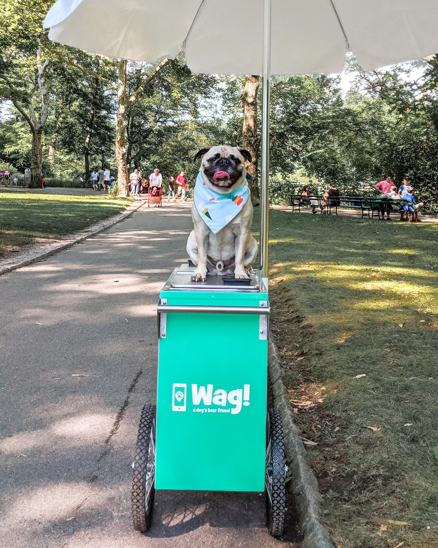 wag-nationalicecreamday-doggieicecream-newyorkcity-dogfriendlynewyork-funthingsfordogs-newyorkpups-dogsofnyc-wagwalking-nycinfluencer-puglife-pug-pugeatingicecream 6.jpg