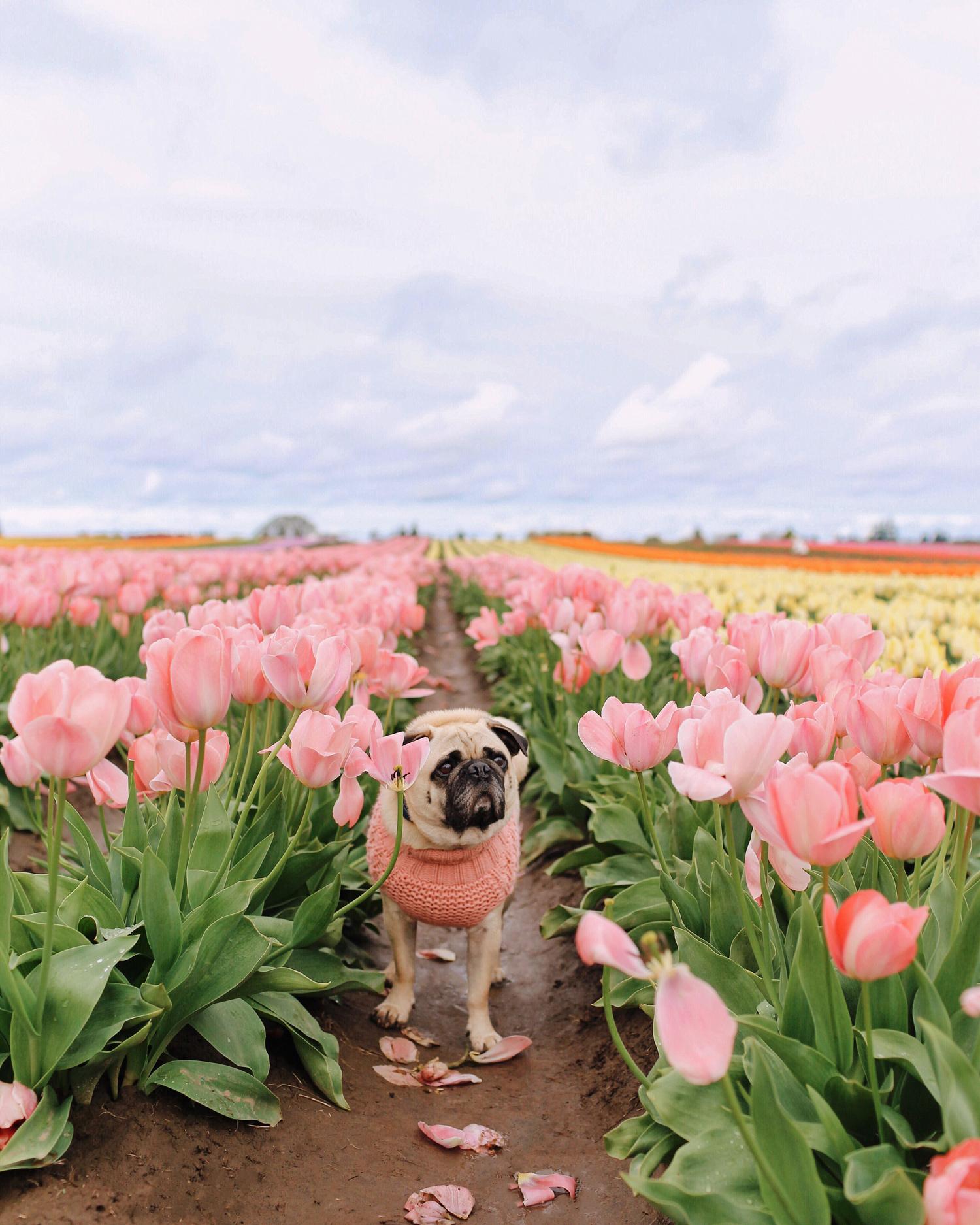 Portland-dogfriendly-travel-travelwithyourdog-woodenshoetulipfestival-2019-dogstraveling-dogblog-pug-dogmomblog-newyorkblog-visitportland25.jpg