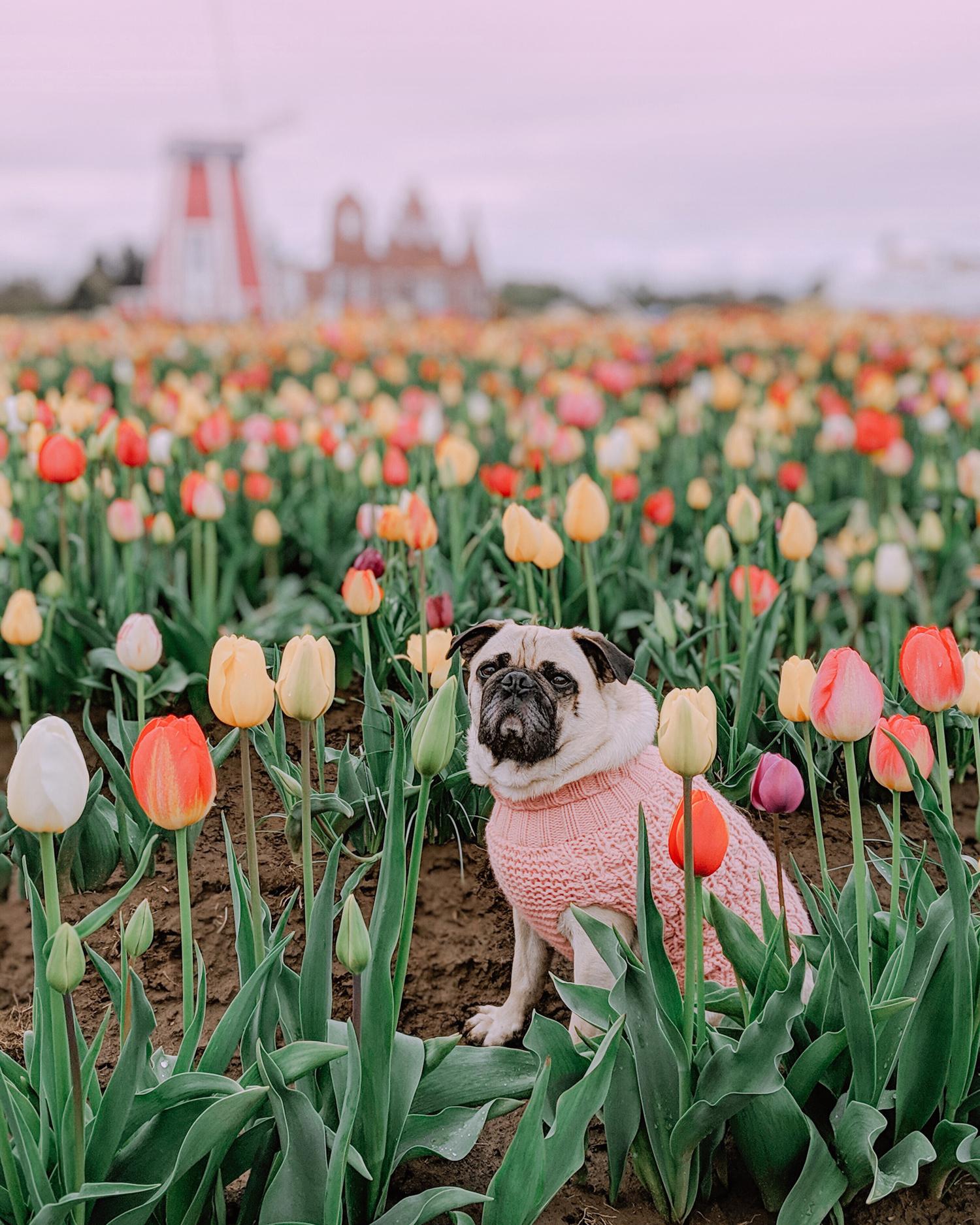 Portland-dogfriendly-travel-travelwithyourdog-woodenshoetulipfestival-2019-dogstraveling-dogblog-pug-dogmomblog-newyorkblog-visitportland26.jpg