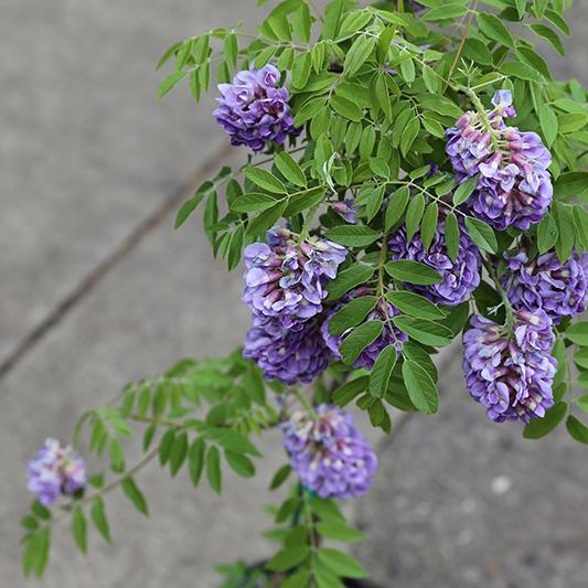 hilaryhorvathflowers_portlandflorist_portlandflowerdelivery_wisteria_alderandco