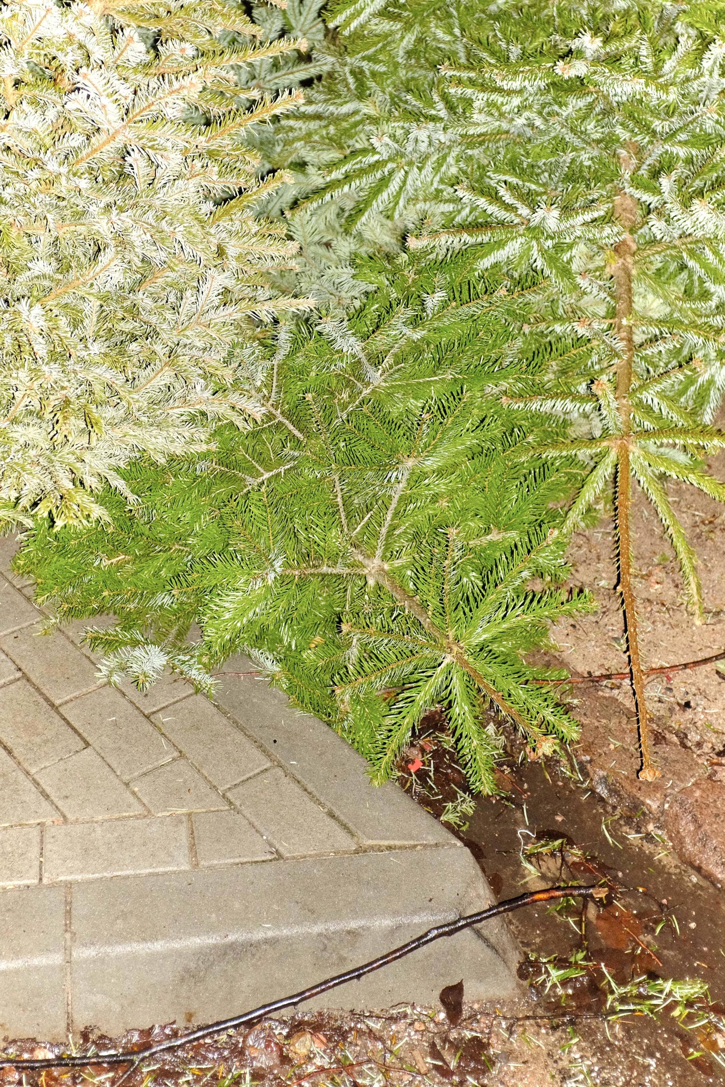 Weihnachtsbaum_15-01-12_DSF3523.jpg