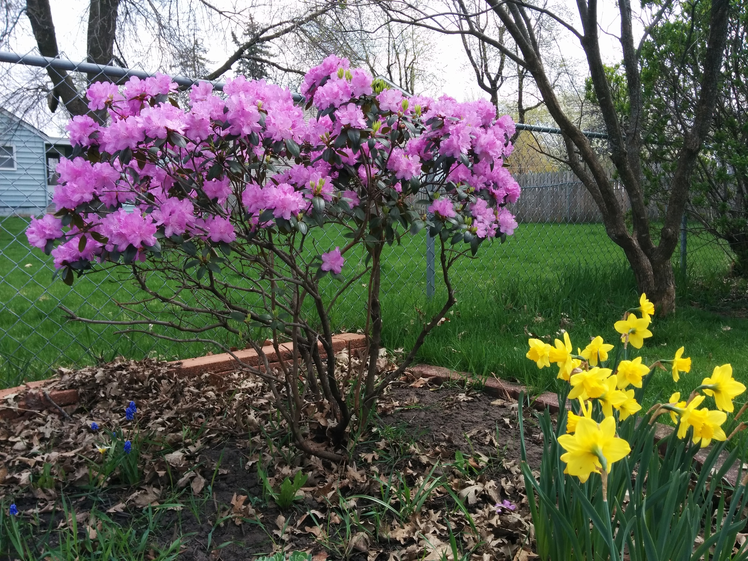 Rhododendron, daffodils, and the tiny grape hyacinths
