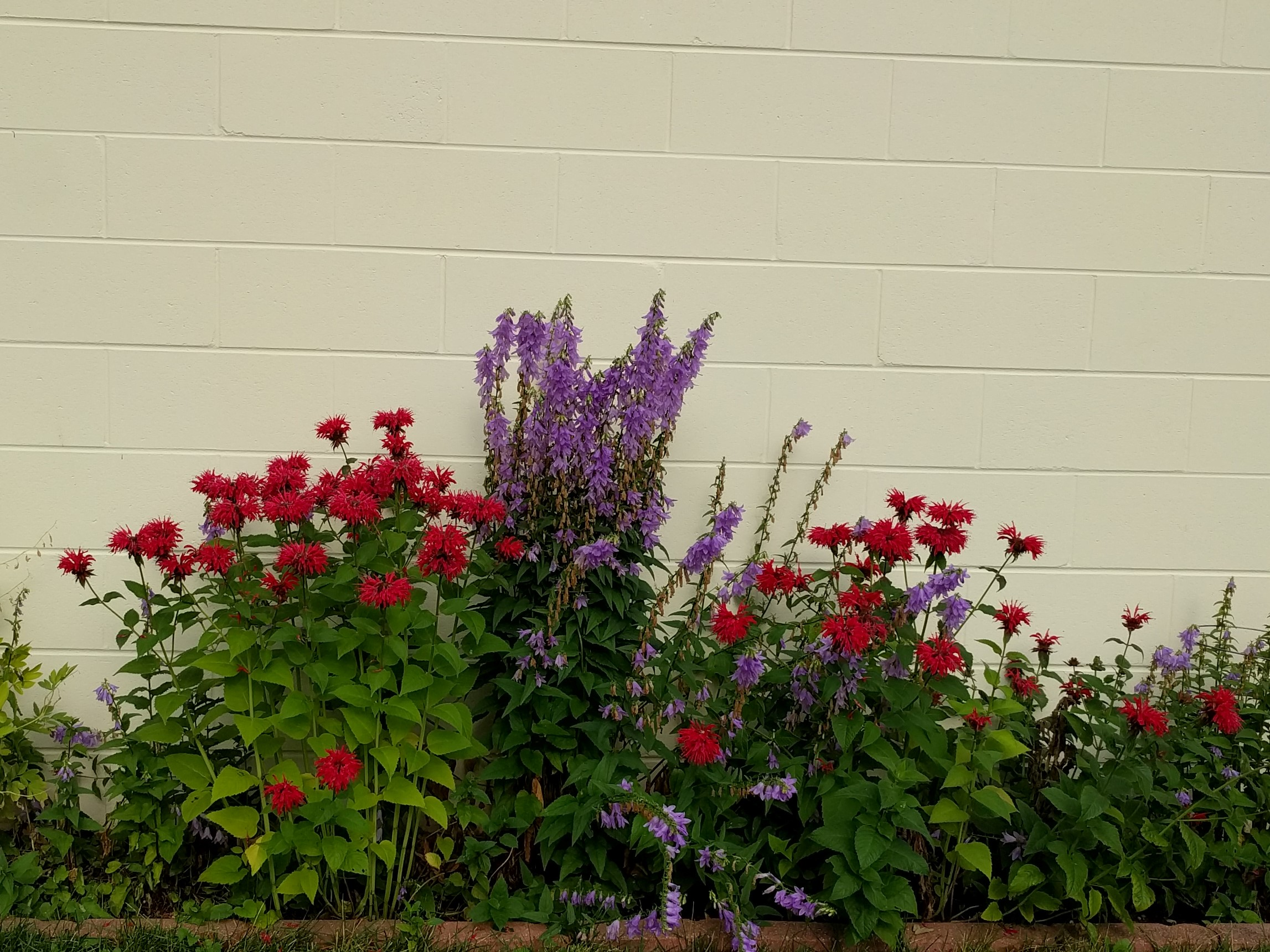 Year 3: Red bee balm and purple harebells in July. The harebells are restrained with a wire tomato cage to keep them from getting wild and tipping into the lawn.