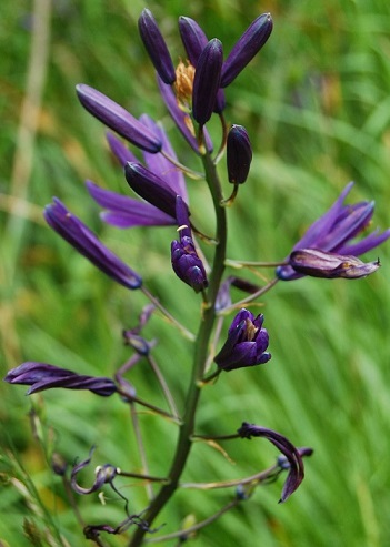 CAMASSIA  (Common name:  Camas)