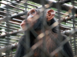 chimp profile.jpg