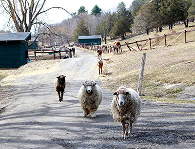 CAS-sheep-on-the-road400.jpg