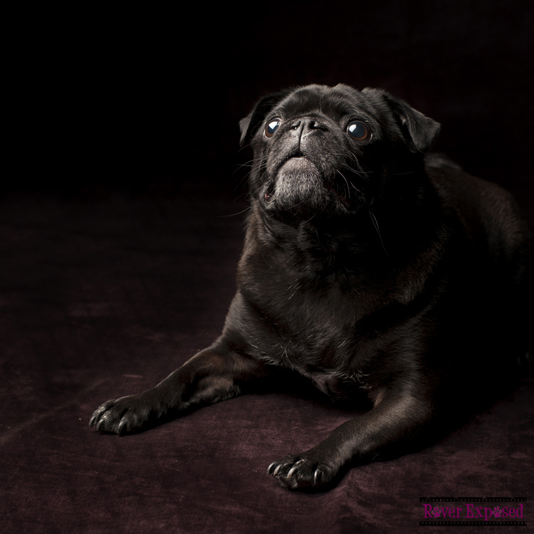 Otto-the-Pug.jpg
