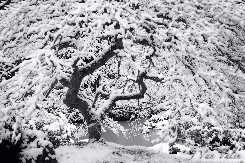 Famous Japanese Maple, winter