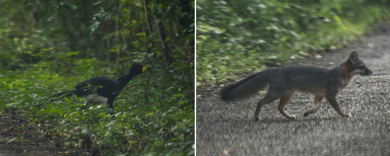the great curassow (fairly uncommon to spot one!) and an adorbs fox
