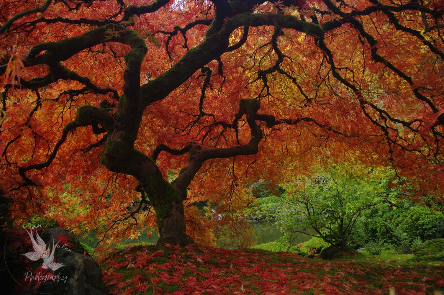 Famous Japanese Maple, fall