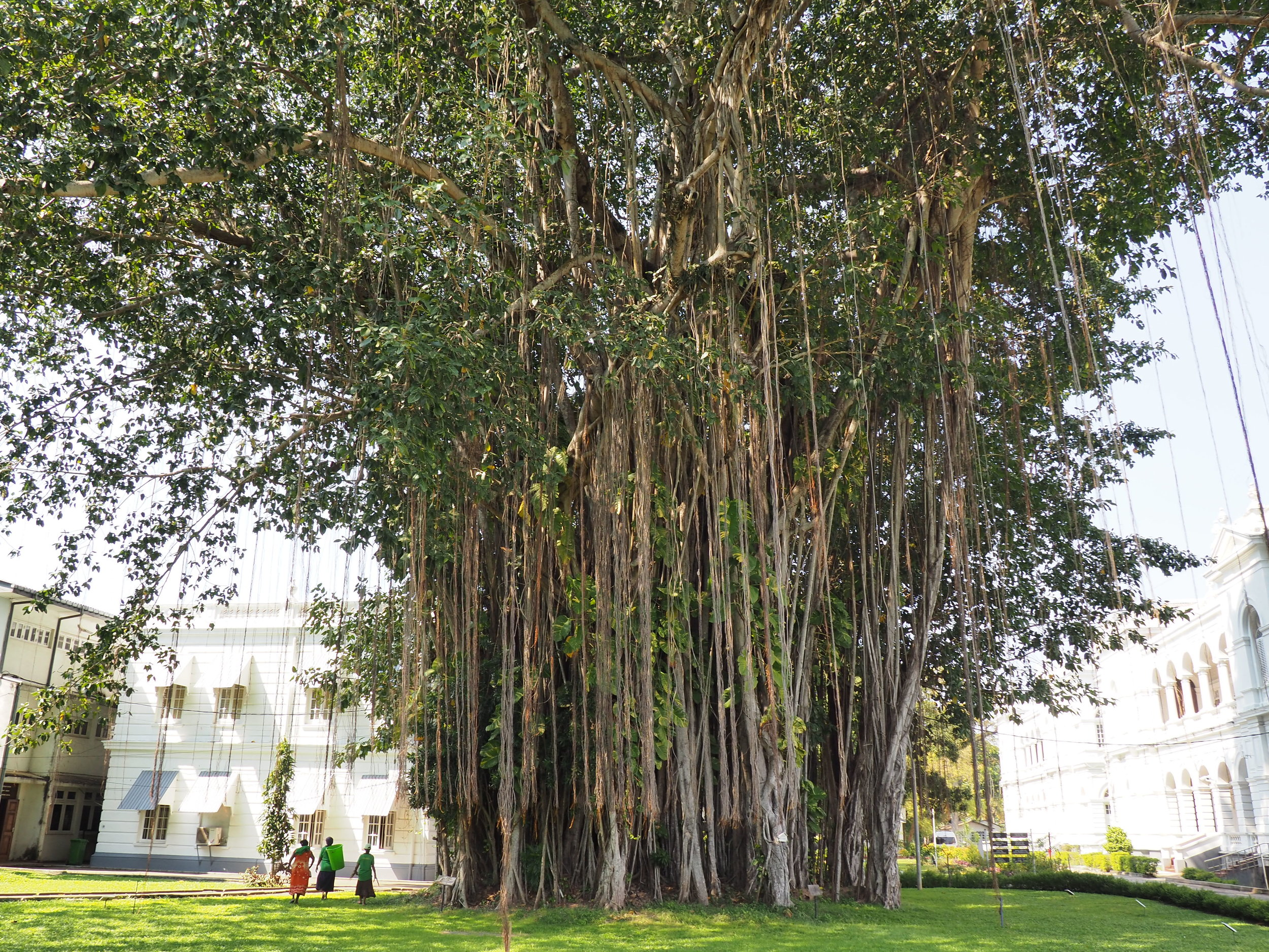 colombo National museum tree with people .JPG