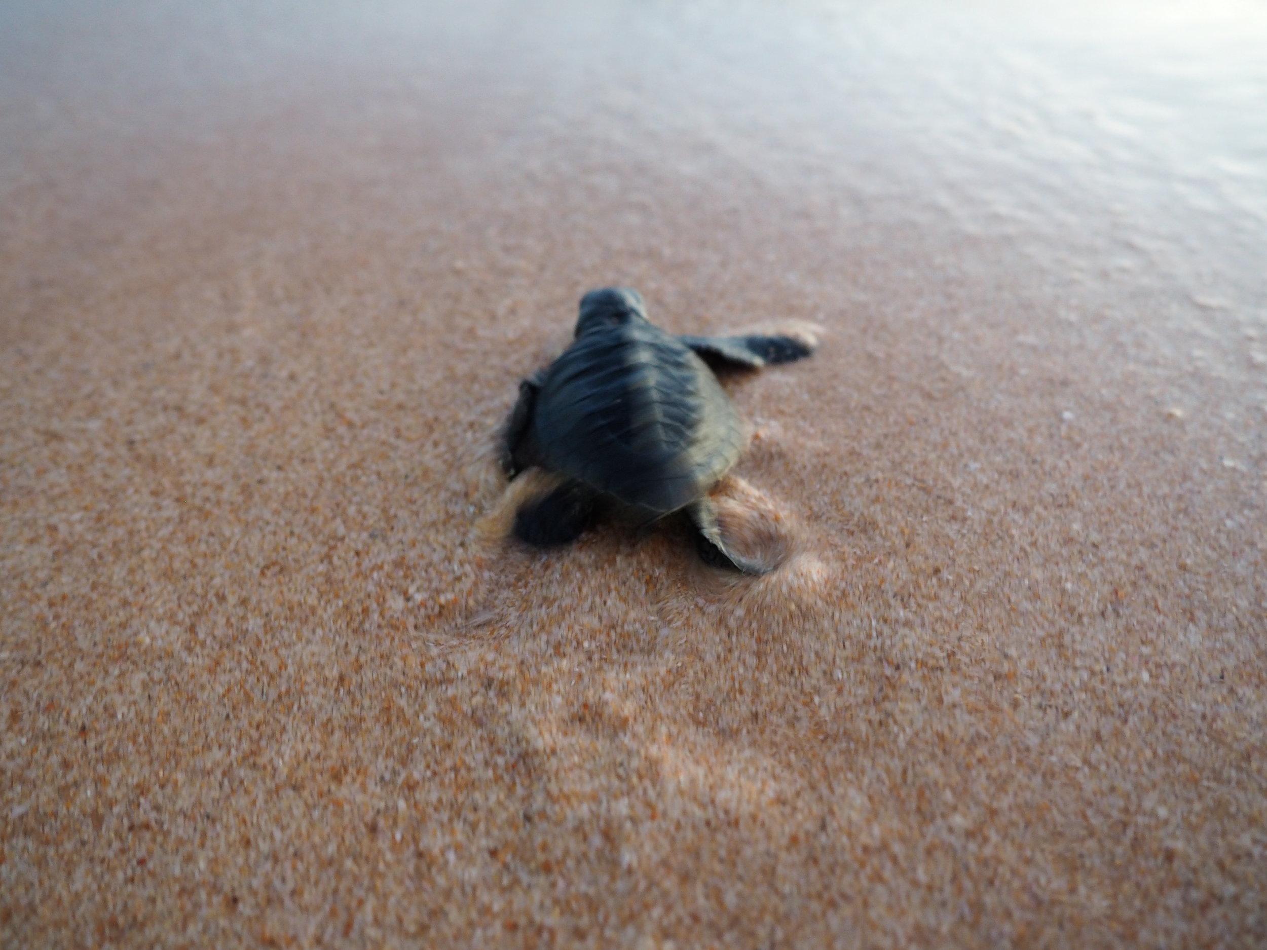 Fortress turtle free.JPG