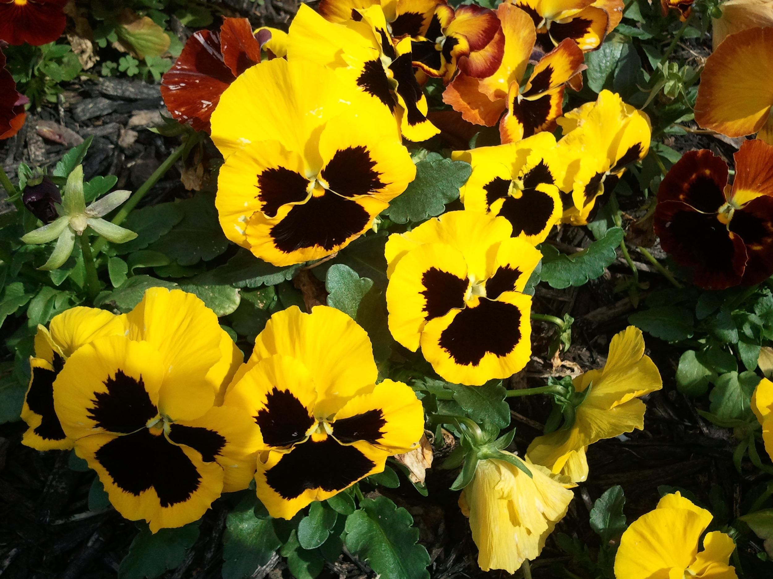 Pansies from semi annual flower bed.jpg