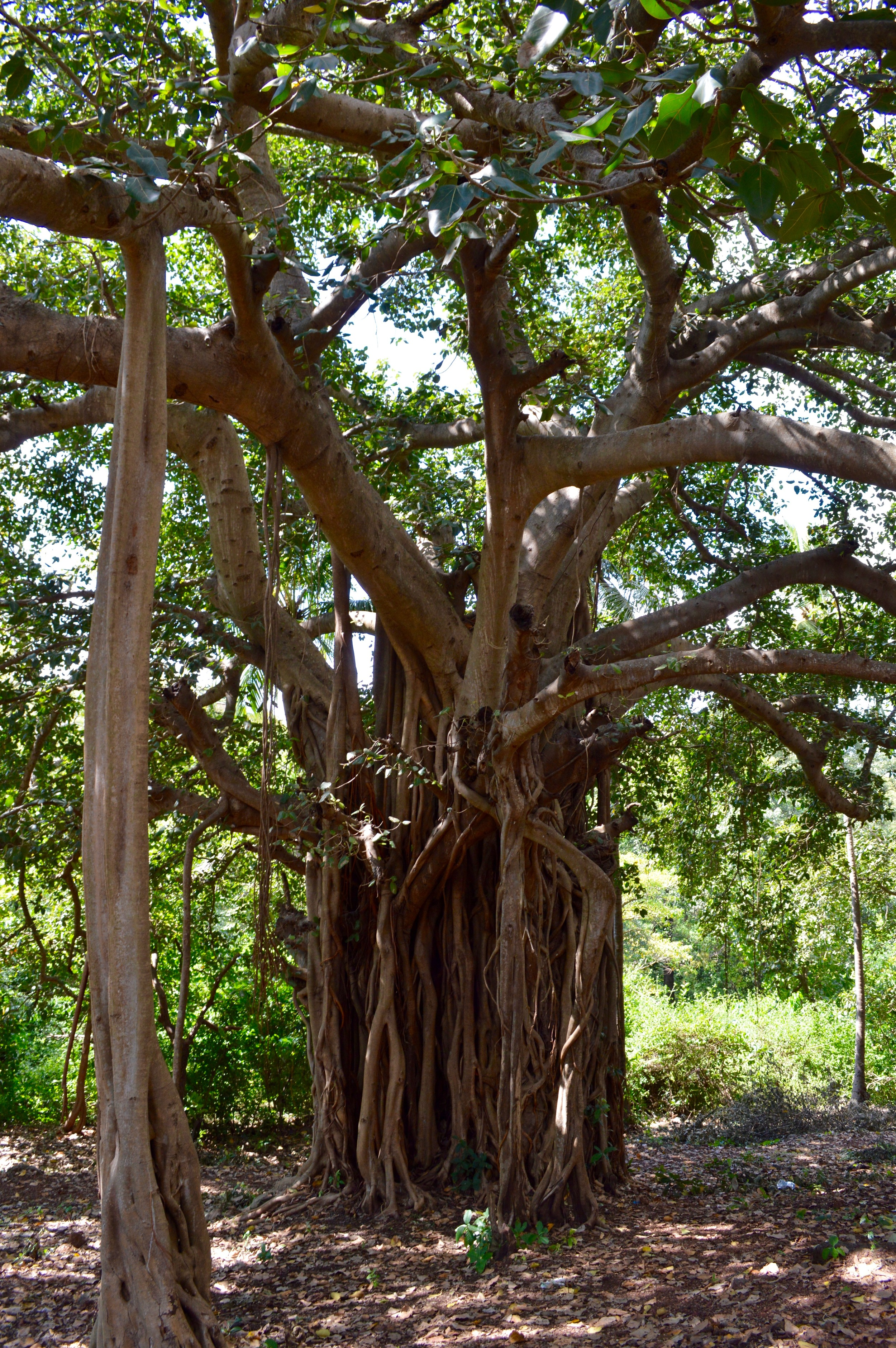 Traditional Indian banyan tree, known for large branches that extend down to the ground, creating new roots and thus new trees.