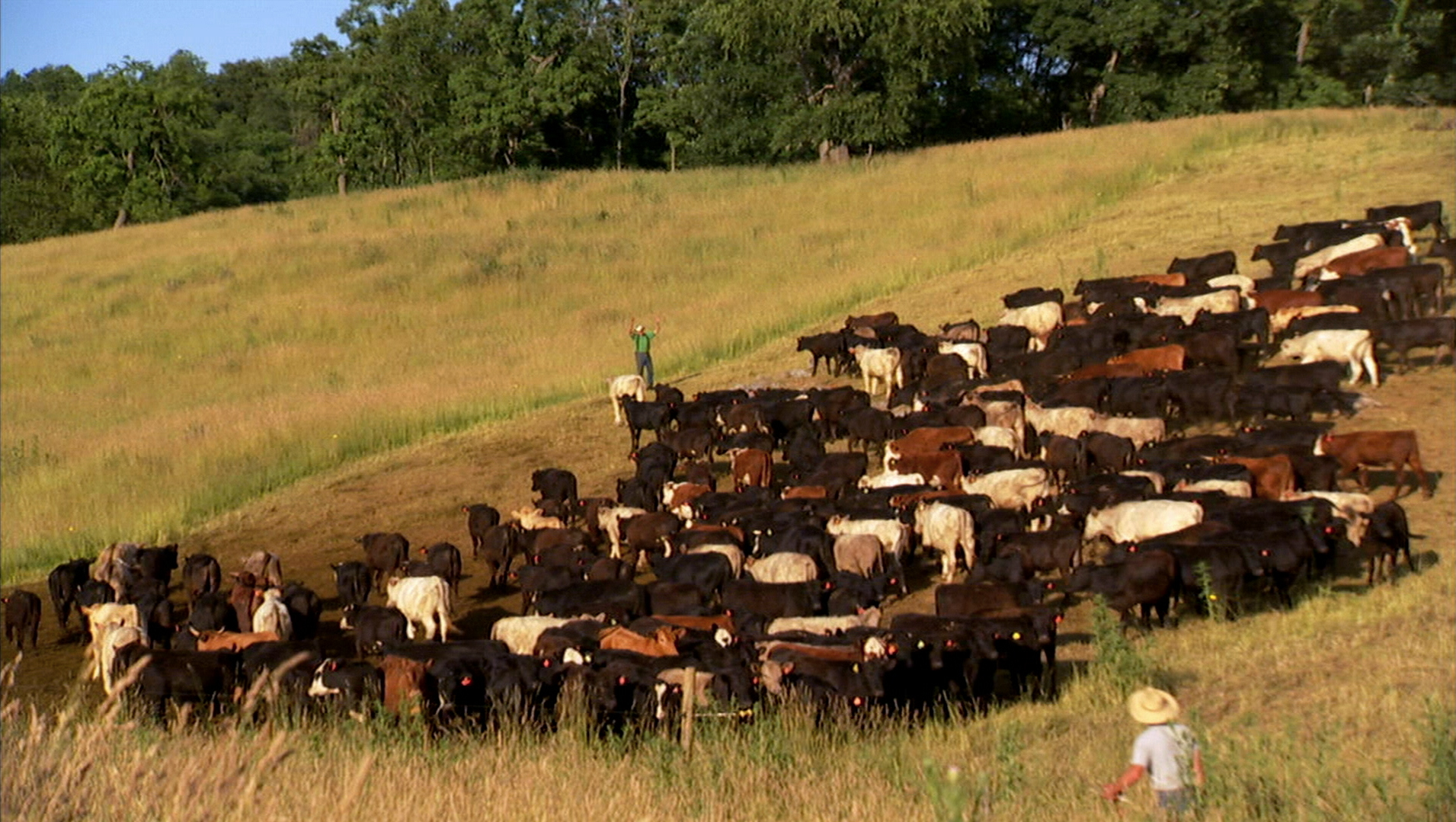 FOOD INC_Joel Salatin cows.jpg