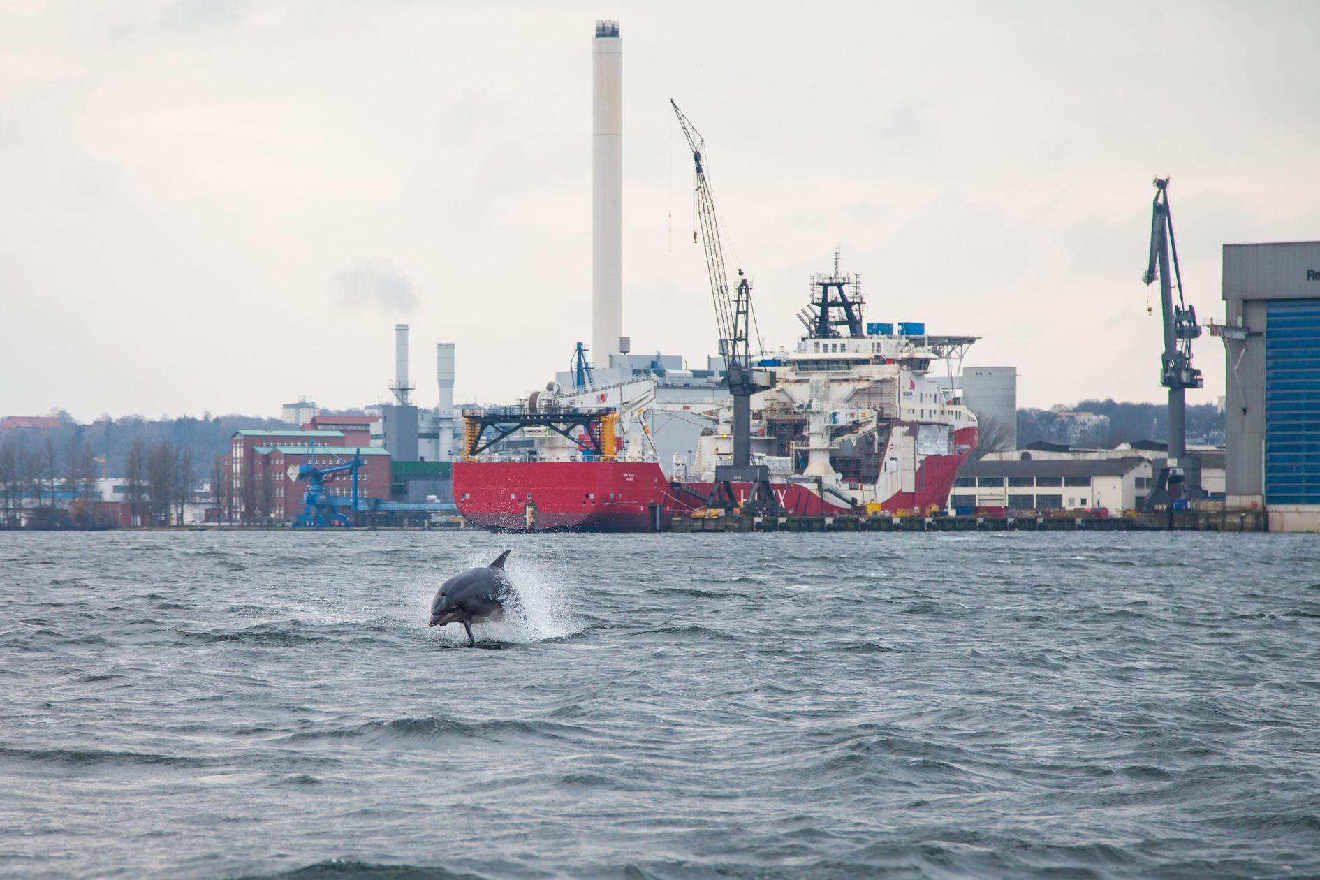 Delfin in Flensburger Förde