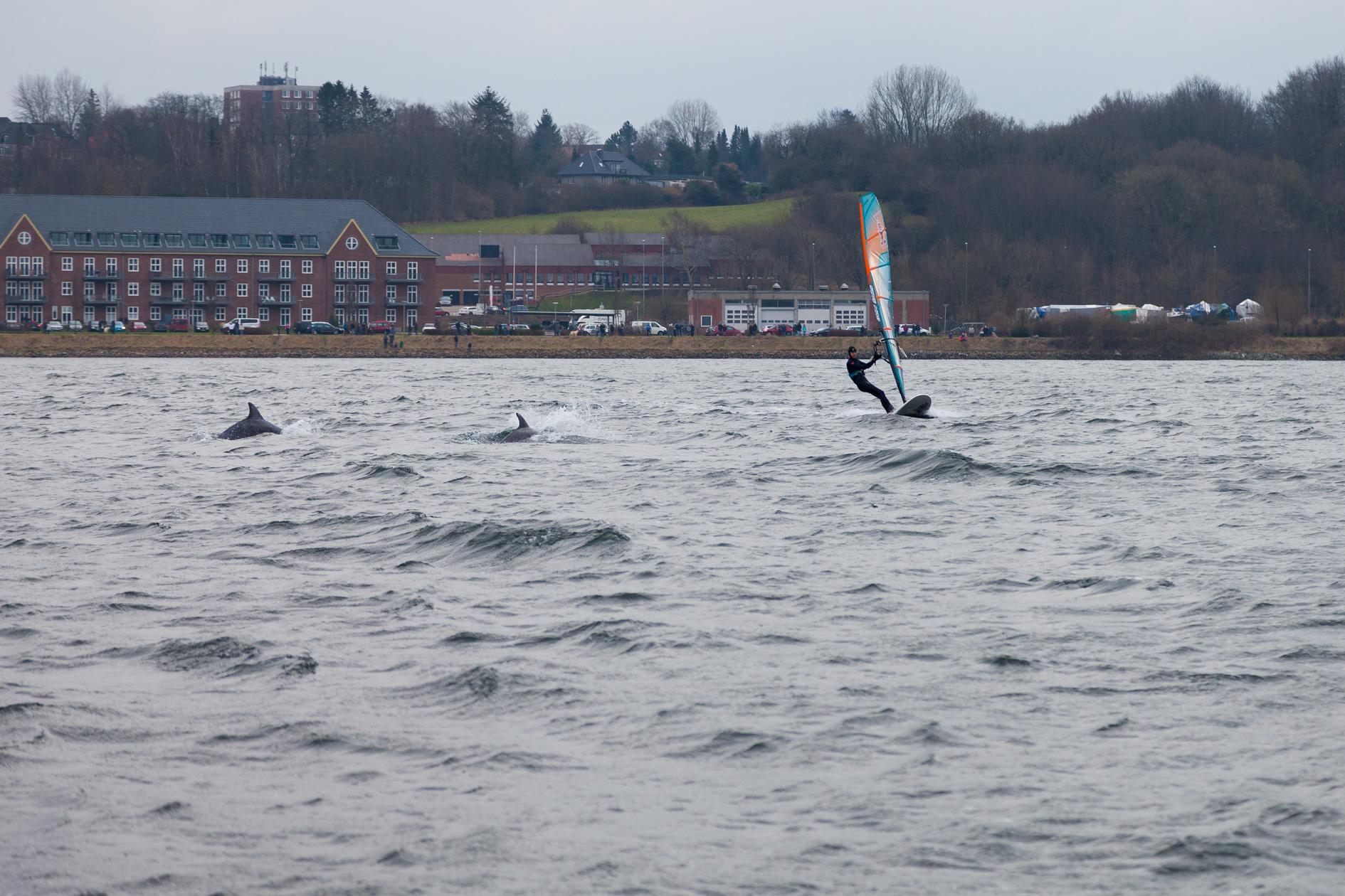 Delfine in der Flensburger Förde