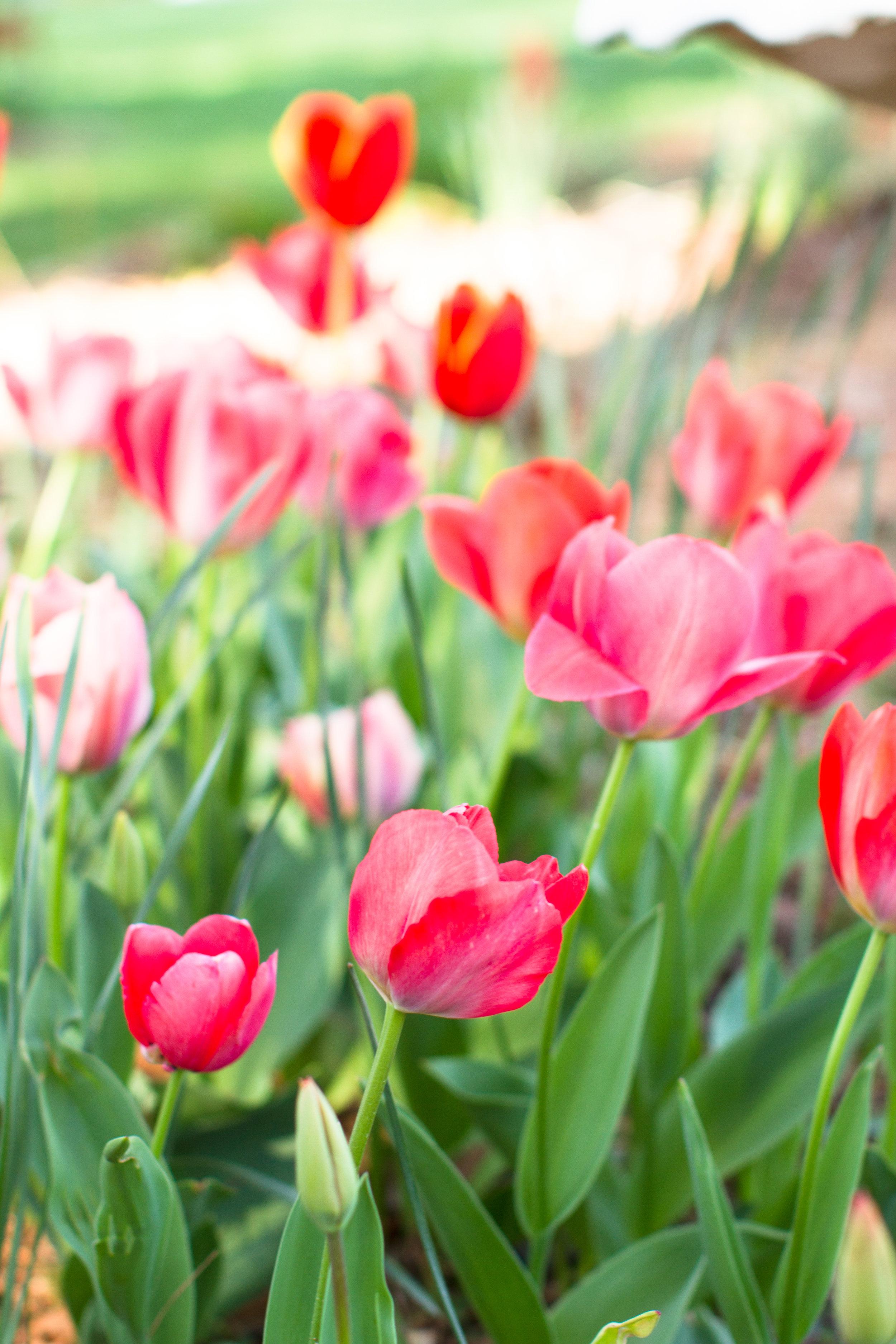Tulips - April 2017 036.jpg