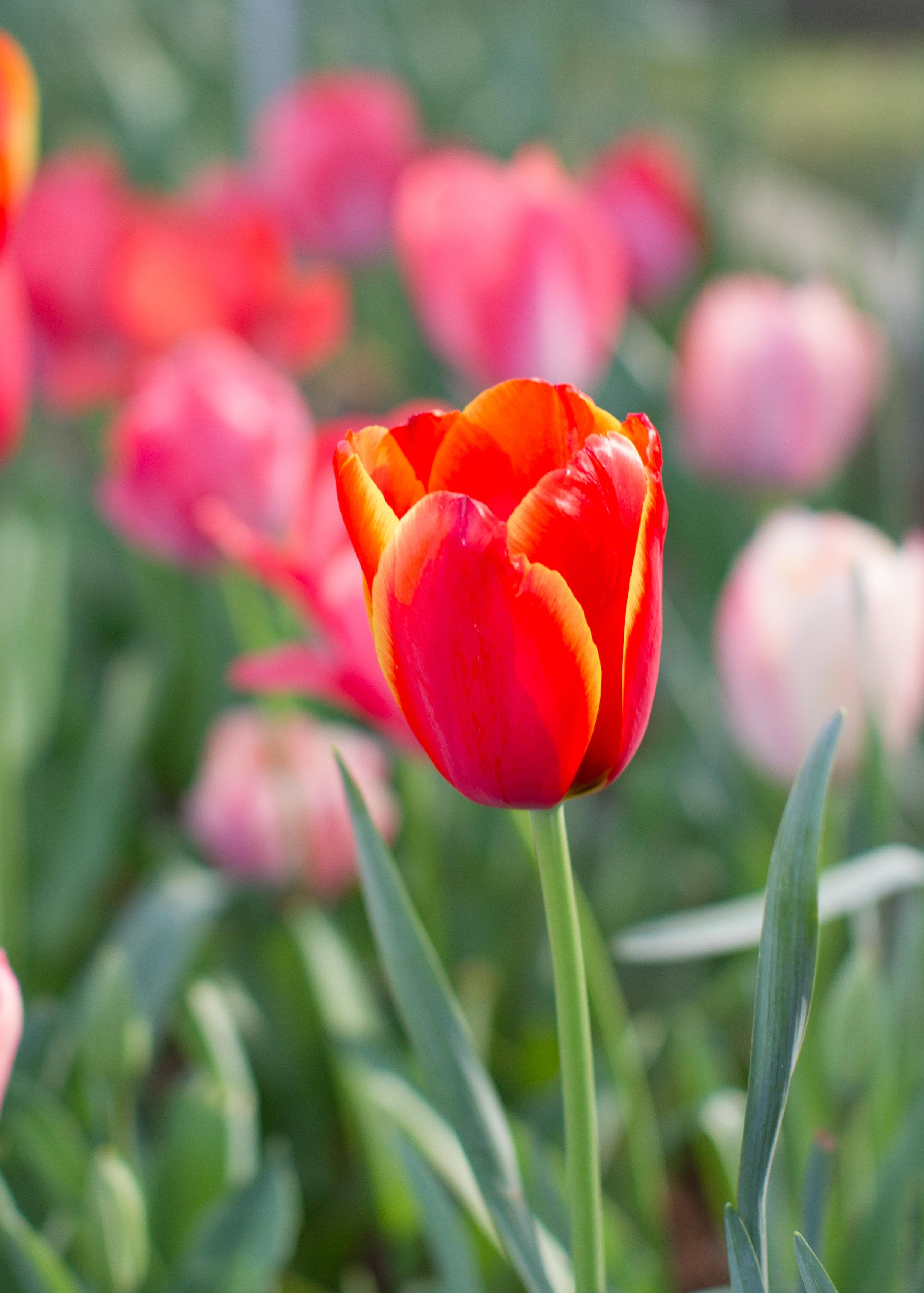 Tulips - April 2017 055.jpg