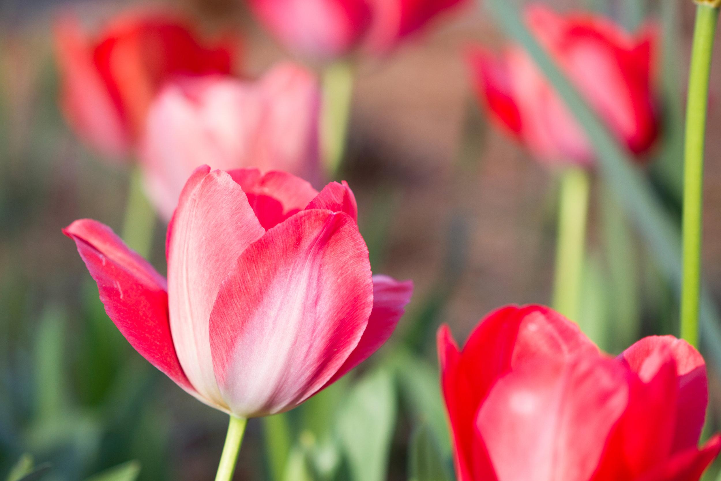 Tulips - April 2017 061.jpg