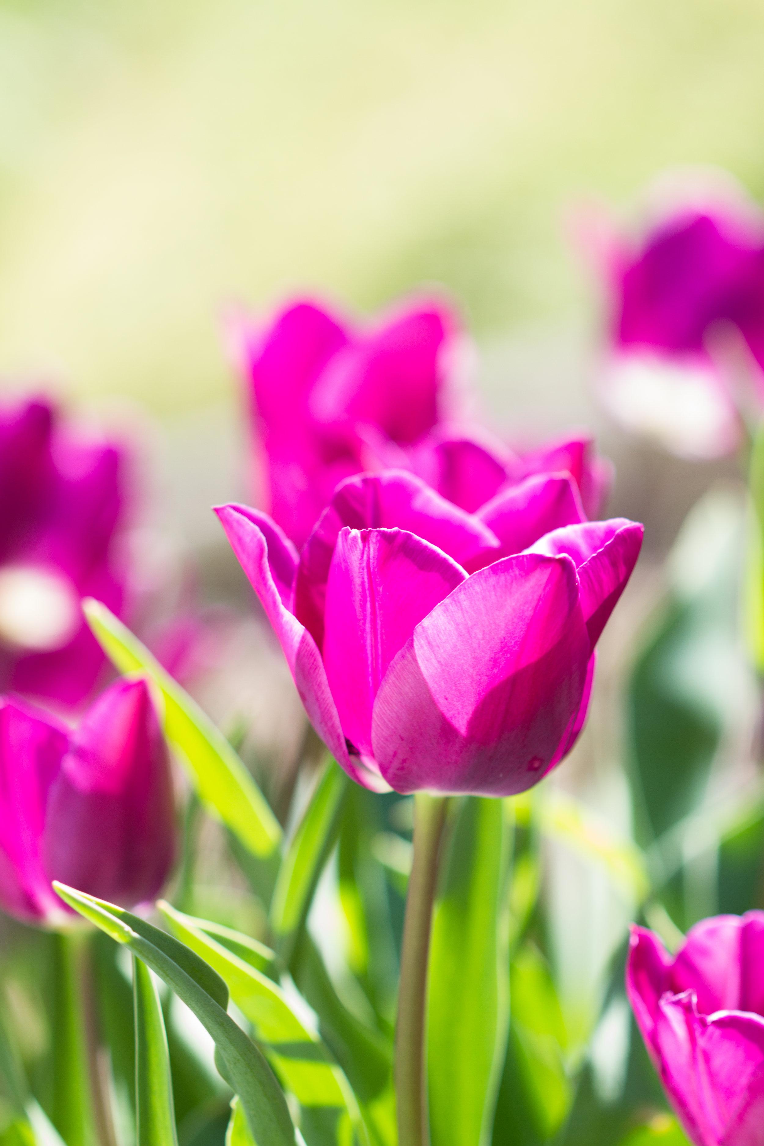 Tulips - April 2017 110.jpg