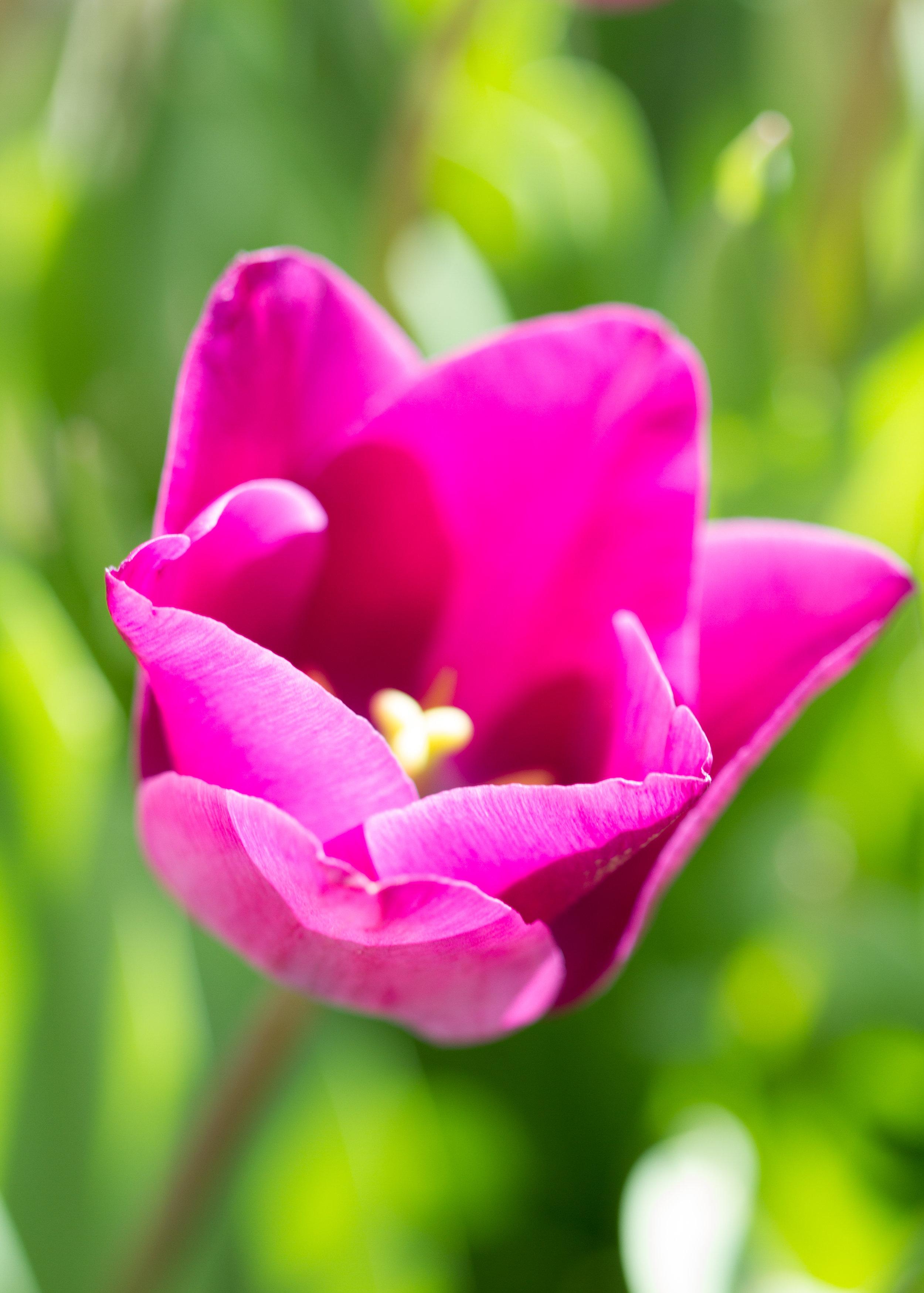 Tulips - April 2017 113.jpg